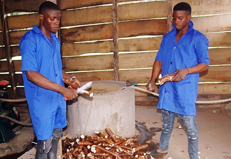 Peeling of Cassava, One of the Composition of Pig Feed